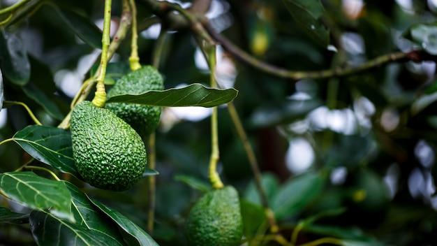 Abacate maduro hass pendurado na árvore