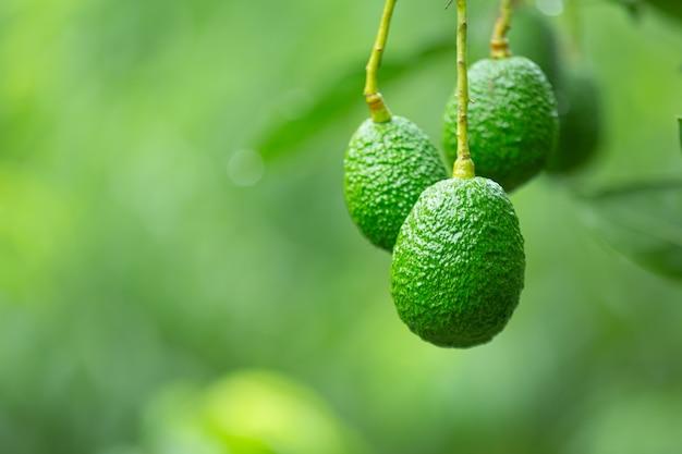 Abacate no jardim
