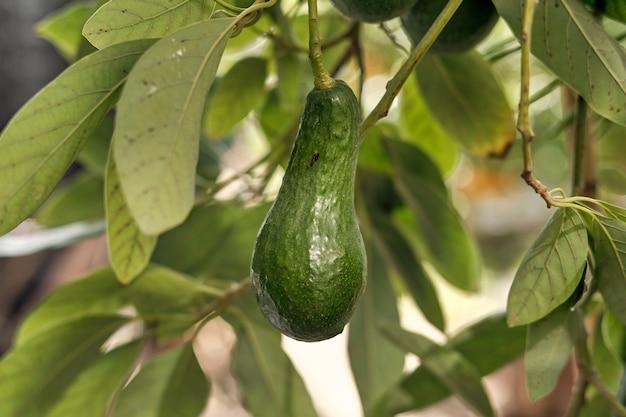 Abacate verde maduro em galho de árvore