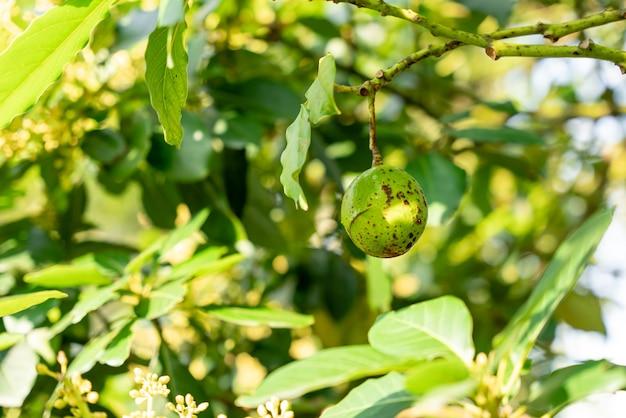 Abacateiro com abacate cresce no jardim de abacate de pomar cultivo de abacate na árvore