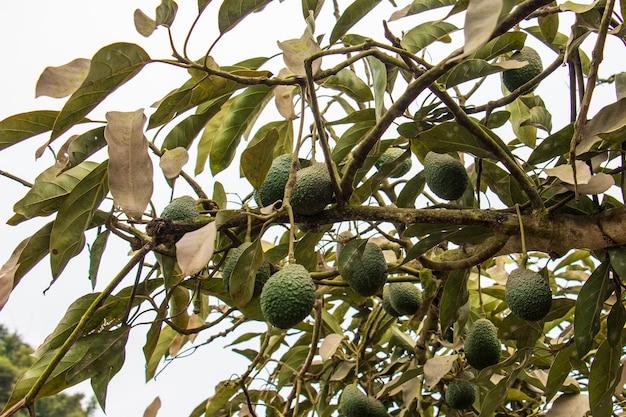 Abacates pendurados em frutos verdes de árvores nome científico persea americana