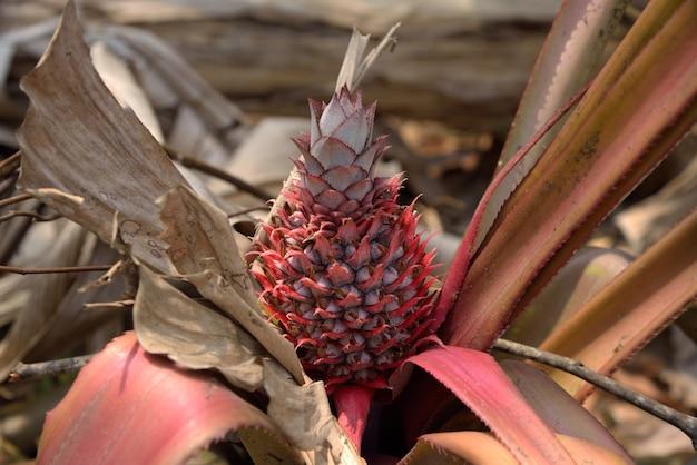 Abacaxi vermelho na natureza