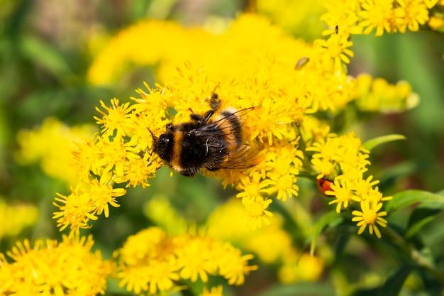 Abelha bombus pascuorum em uma flor amarela no verão