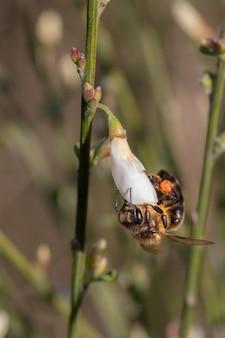Abelha chupando néctar de uma flor