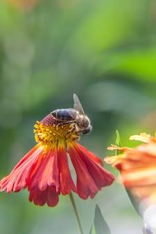 Abelha coberta com néctar de bebida de pólen amarelo, flor de laranjeira polinizadora