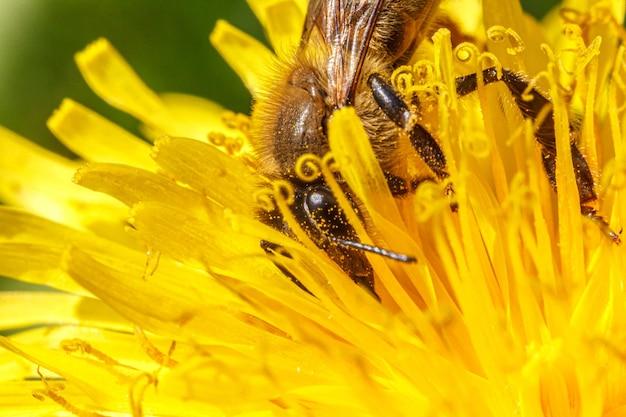 Abelha coberta com néctar de bebida de pólen amarelo, polinizando flor dente de leão amarelo