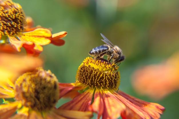 Abelha coberta com pólen amarelo bebe néctar, flor de laranjeira polinizadora