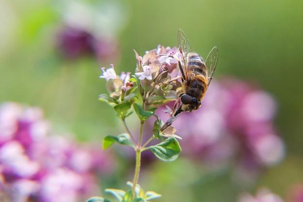 Abelha coberta com pólen amarelo bebe néctar, flor rosa polinizadora