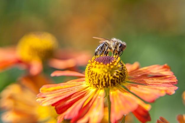 Abelha coberta com pólen amarelo bebe néctar, polinização de flor de laranjeira. vida de insetos