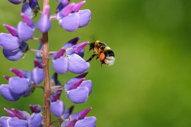 Abelha coleta mel em uma flor de tremoço