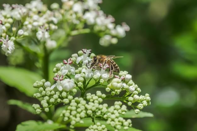 Abelha coleta néctar da planta de mel valeriana officinalis na inflorescência que cresce na floresta. valeriana de planta fresca florescendo. valeriana de jardim, heliotrópio de jardim e flores que curam no verão
