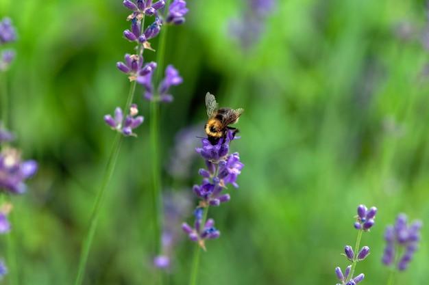 Abelha coleta néctar em flores de lavanda