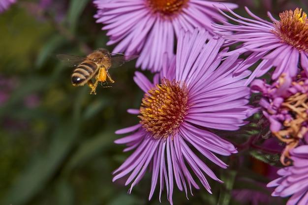 Abelha coleta o último néctar e pólen de flores perenes de áster