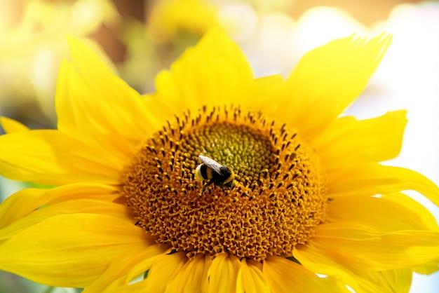 Abelha coleta pólen de girassóis amarelos florescendo em um campo agrícola de perto