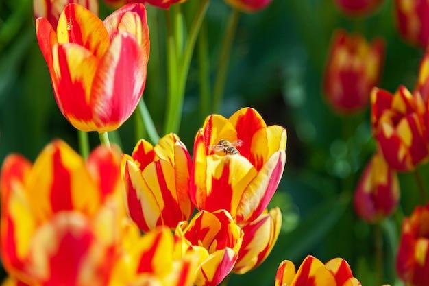 Abelha coleta pólen em canteiro de tulipas com tulipas desabrochando em diferentes formas e cores