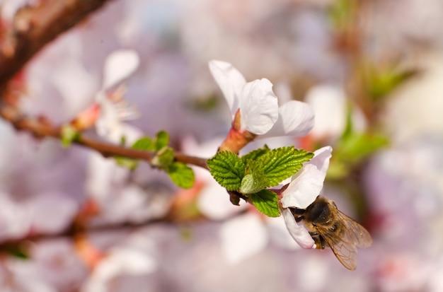 Abelha coletando néctar em flor de cerejeira
