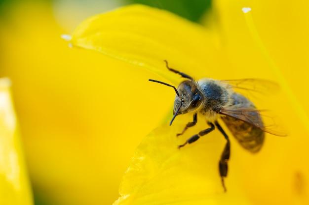 Abelha coletando pólen de flores.