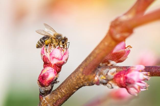 Abelha coletando pólen de uma árvore de pêssego florescendo.