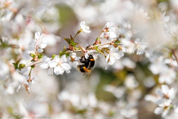 Abelha coletando pólen em flor na flor de cerejeira
