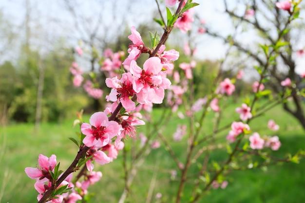 Abelha coletando pólen em uma flor de pêssego