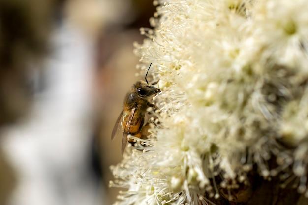 Abelha coletando pólen na flor de jabuticaba. foco seletivo.