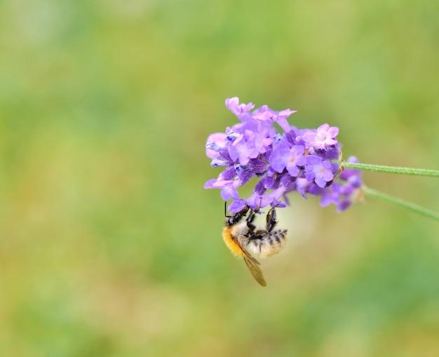 Abelha coletando uma flor