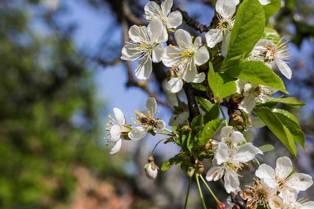 Abelha colhendo pólen de cherry blossom