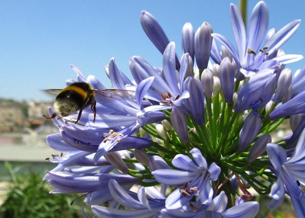 Abelha-de-cauda-amarela sentada sobre as pétalas azuis das flores do lírio do nilo