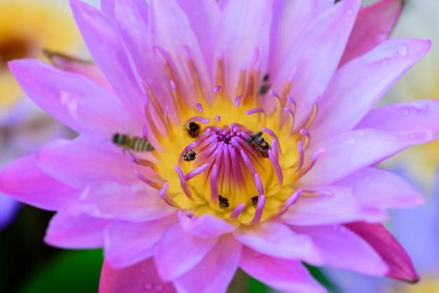 Abelha de close-up em flor de lótus