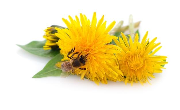 Abelha de mel e flor amarela isolada em um fundo branco