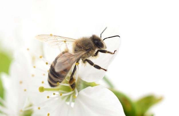 Abelha de mel e flores de cerejeira branca