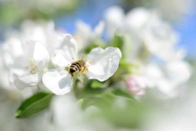 Abelha de mel e flores de maçã branca