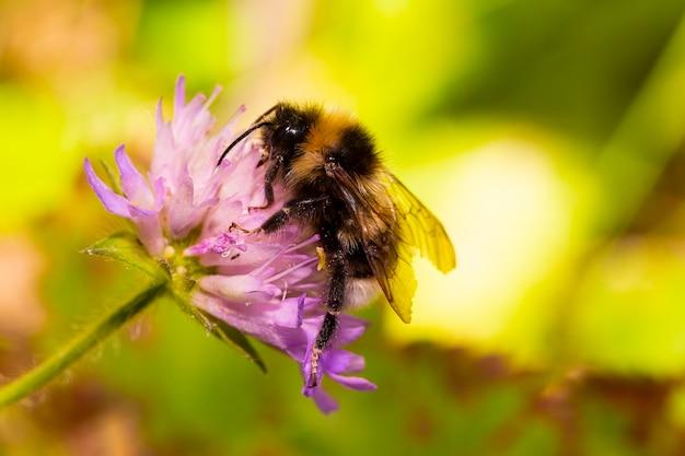 Abelha de mel macro se alimenta de néctar em uma flor roxa, verão