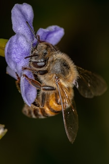 Abelha de mel ocidental adulta da espécie apis mellifera polinizando duranta erecta