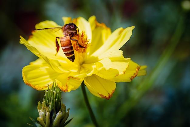 Abelha do close up que coleta o pólen no cosmos amarelo