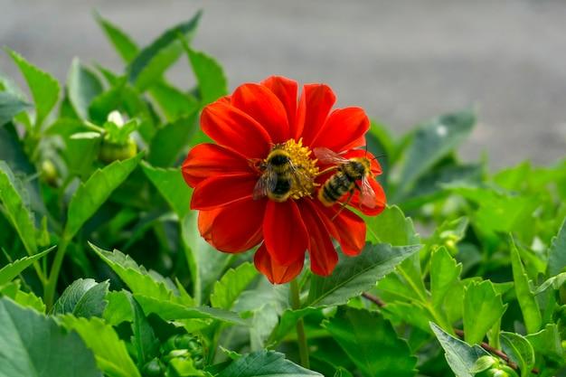 Abelha e abelha polinizam juntas uma grande flor vermelha de zínia
