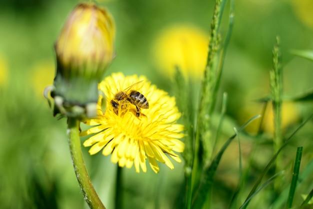 Abelha e flores amarelas em fundo de grama verde.