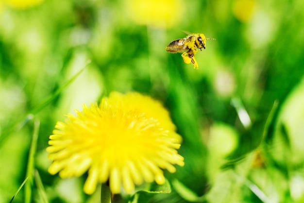 Abelha e flores amarelas na grama verde