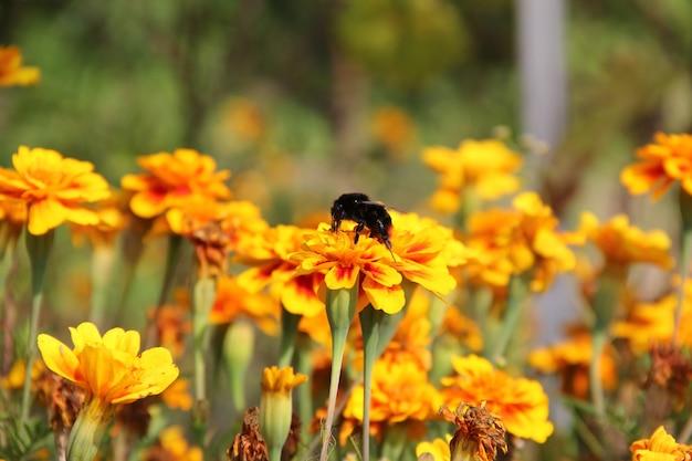 Abelha em flor bombus tagetes