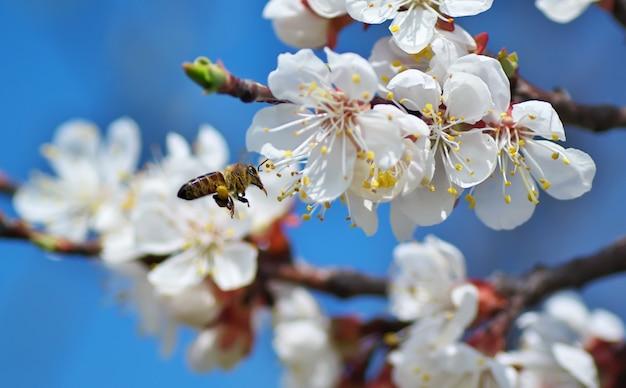 Abelha em flor de damasco branco