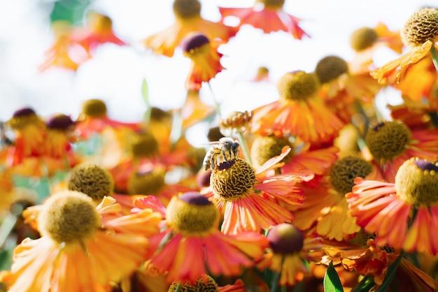 Abelha em flores alaranjadas do hélio do outono no jardim.