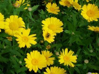 Abelha em flores amarelas