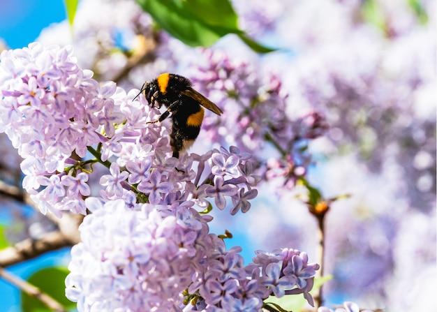 Abelha em flores lilás. fundo de natureza primavera