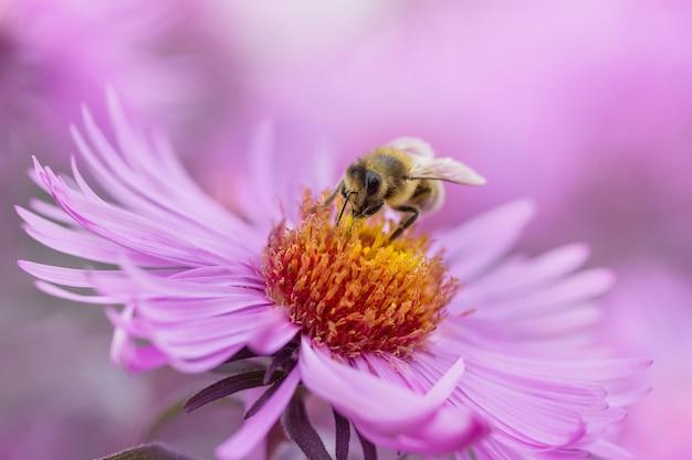 Abelha em flores rosa close-up
