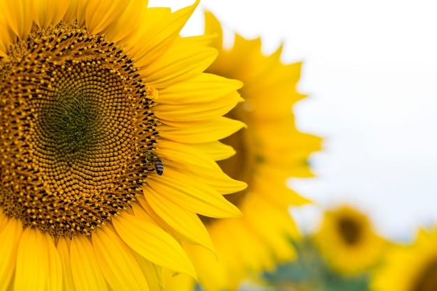 Abelha em girassol. flor de close-up de girassol, fundo natural.