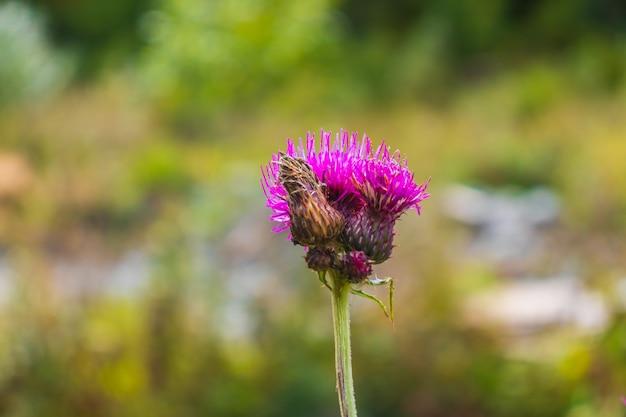 Abelha em um cardo roxo florescendo