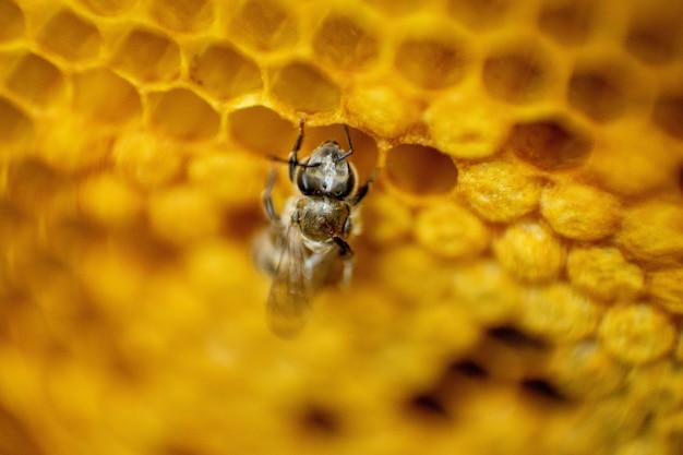 Abelha em um favo de mel
