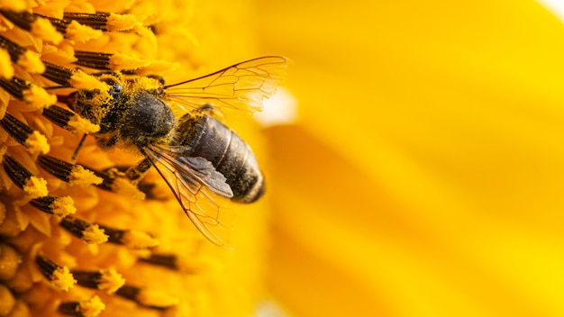Abelha em um pólen amarelo, coleta néctar de girassol