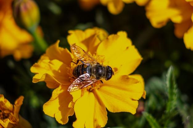 Abelha em uma flor de calêndula laranja