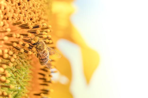 Abelha em uma flor de girassol